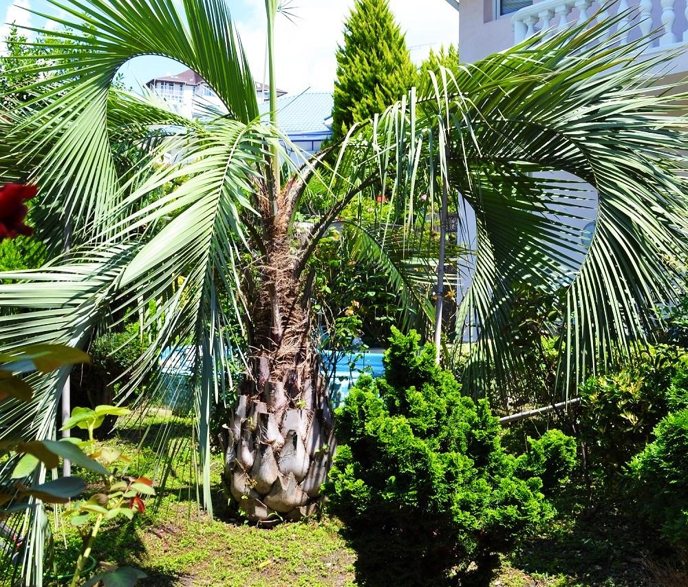 На участке пальма
